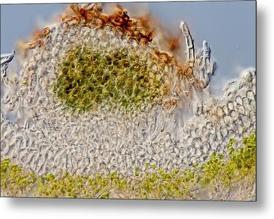 Green Dog Lichen Section Metal Print by Gerd Guenther