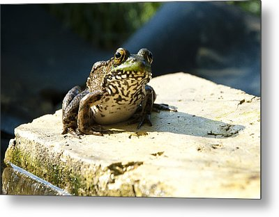 Green Frog - Lookin At Yah Metal Print by Janice Adomeit