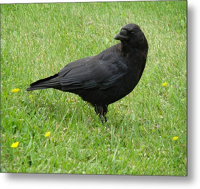 Green Grass And Crow Metal Print by Gothicrow Images