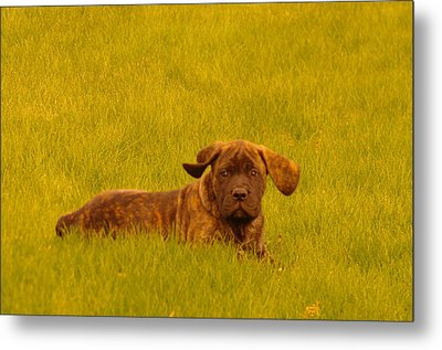 Green Grass And Floppy Ears Metal Print by Jeff Swan