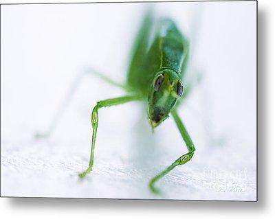 Green Grasshopper Caelifera Metal Print by Iris Richardson