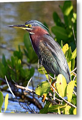 Green Heron At Minwr Metal Print