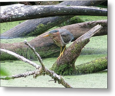 Metal Print featuring the photograph Green Heron - Camouflage by I'ina Van Lawick