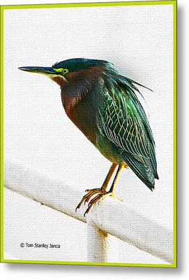 Green Heron In Scottsdale Metal Print