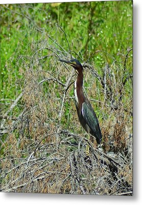 Green Heron Metal Print by Mary Zeman