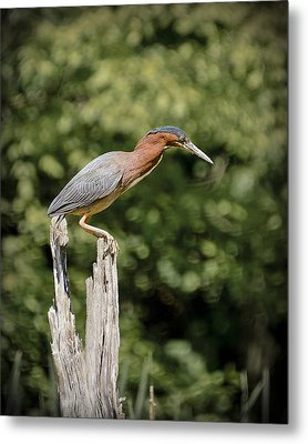 Green Heron On Stump Metal Print by Bradley Clay