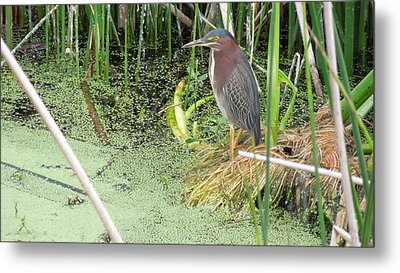 Metal Print featuring the pyrography Green Heron by Ron Davidson