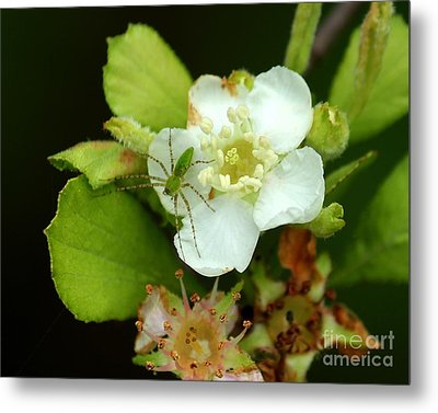 Green Lynx Spider On Blossom Metal Print by Theresa Willingham
