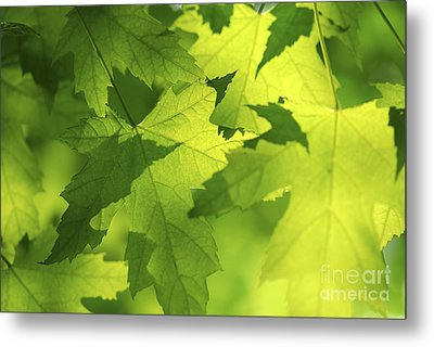 Green Maple Leaves Metal Print