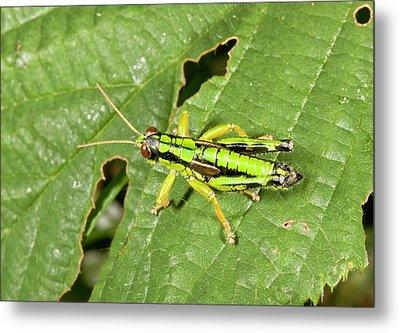 Green Mountain Grasshopper Metal Print