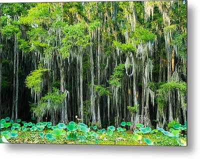 Green On Gray - Forest Of Bald Cypress Trees -texas Metal Print