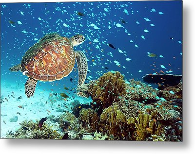 Green Sea Turtle And Reef Fish Metal Print by Georgette Douwma