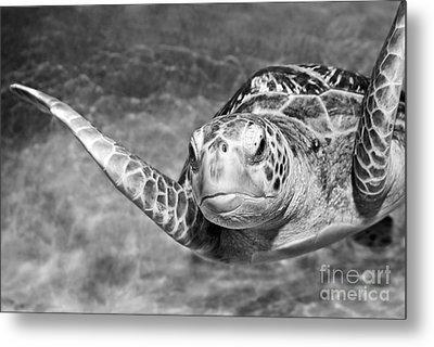 Green Sea Turtle. Metal Print by Jamie Pham