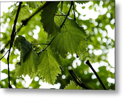 Green Summer Rain With Grape Leaves Metal Print