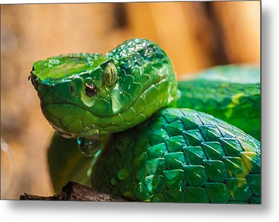 Green Tree Pit Viper Metal Print by Craig Lapsley