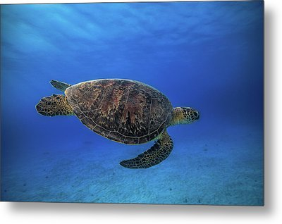Green Turtle In The Blue Metal Print by Barathieu Gabriel