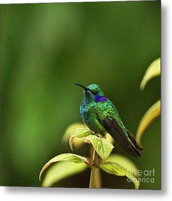 Green Violetear Hummingbird Metal Print