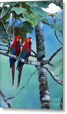 Green-winged Macaws Metal Print