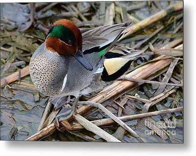 Metal Print featuring the photograph Green-winged Teal by Debra Martz