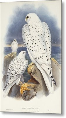Greenland Falcon Metal Print by John Gould