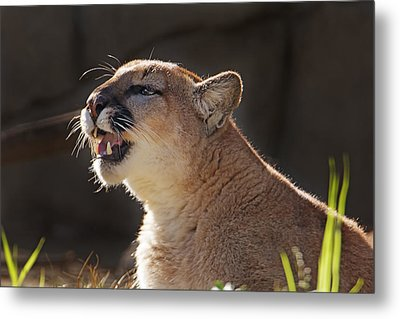 Greeting The Morning Light  Metal Print
