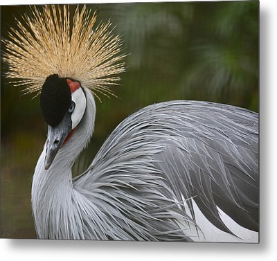 Grey Crowned Crane Metal Print by Venetia Featherstone-Witty