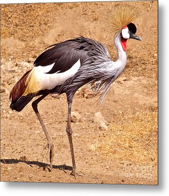 Grey Crowned Crane Metal Print by K L Kingston