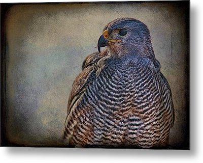 Metal Print featuring the photograph Grey Hawk by Barbara Manis