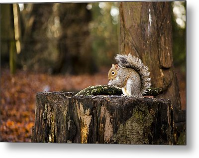 Grey Squirrel On A Stump Metal Print by Spikey Mouse Photography