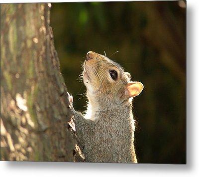 Grey Squirrel Metal Print by Ron Harpham