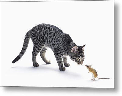 Grey Tabby Cat And Mouse Staring Metal Print