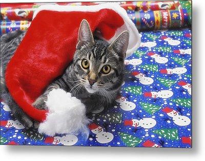 Grey Tabby Cat With Santa Claus Hat Metal Print by Thomas Kitchin & Victoria Hurst