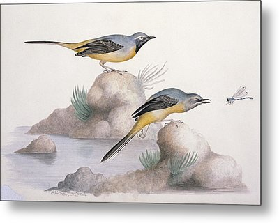 Grey Wagtail, 19th Century Metal Print by Science Photo Library