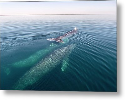 Grey Whales Metal Print by Christopher Swann