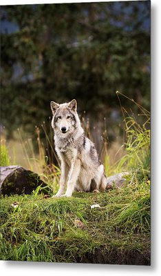 Grey Wolf  Canis Lupus  Pup Roams It S Metal Print