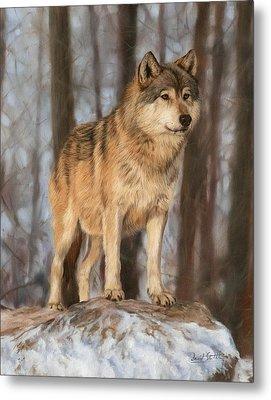 Grey Wolf Metal Print by David Stribbling