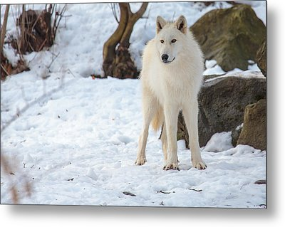 Grey Wolf Metal Print by Everet Regal