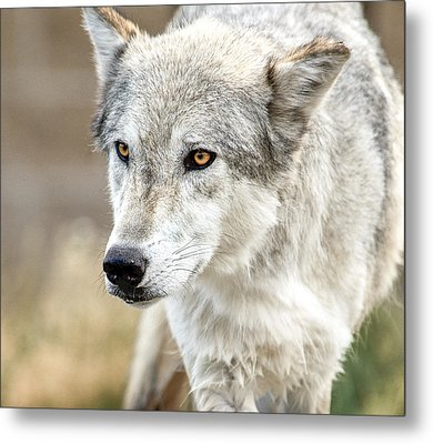 Metal Print featuring the photograph Grey Wolf Eyes by Yeates Photography