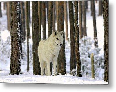 Grey Wolf In Winter Metal Print by Bildagentur-online/mcphoto-schulz