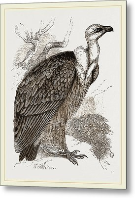 Griffon-vulture Metal Print by Litz Collection
