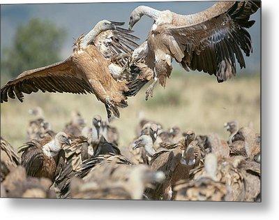 Griffon Vultures Metal Print by Nicolas Reusens