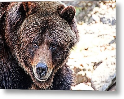 Grizz Metal Print by Karol Livote