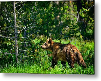Metal Print featuring the photograph Grizzly Bear 760 by Greg Norrell