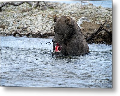 Brown Bear Eating Salmon Metal Print by Dan Friend