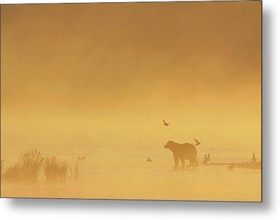 Grizzly Bear In Morning Fog Metal Print by Matthias Breiter