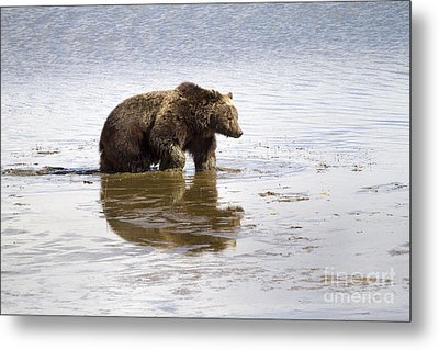 Grizzly Bear In Muddy Water Metal Print by Mike Cavaroc