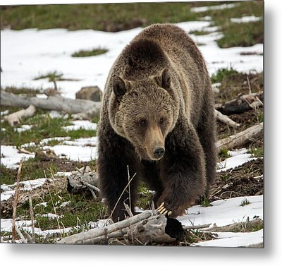 Metal Print featuring the photograph Grizzly Bear In Spring by Jack Bell