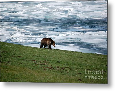 Metal Print featuring the photograph Grizzly Bear On The Shoreline Of Frozen Lake Yellowstone by Shawn O'Brien