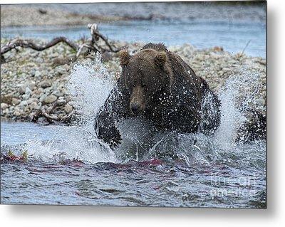 Brown Bear Pouncing On Salmon Metal Print by Dan Friend