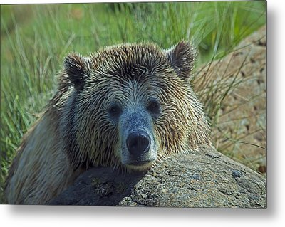 Grizzly Bear Resting Metal Print by Garry Gay